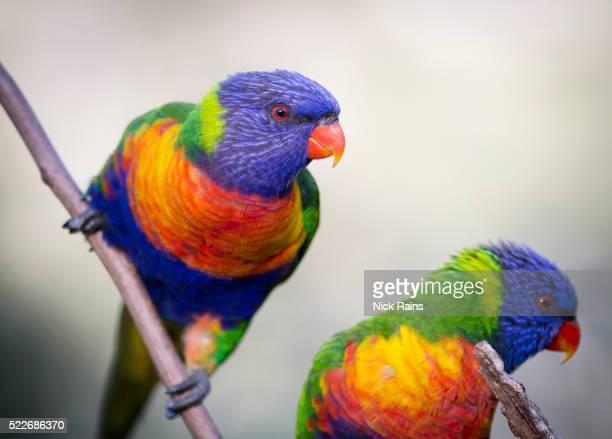 Rainbow Lorikeet, Brisbane, Australia