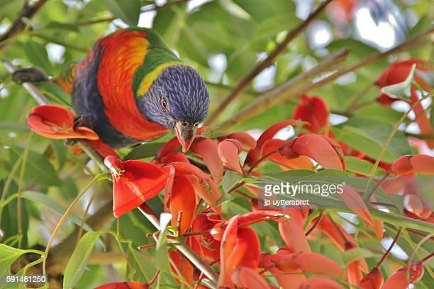 Rainbow lorikeet feeding on nectar from tree flowers
