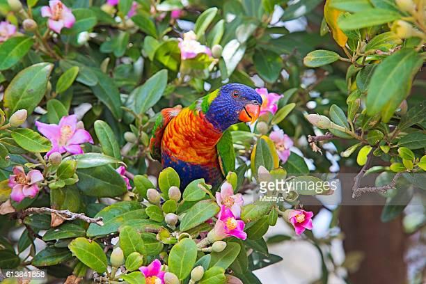 Rainbow Lorikeet on a Primrose Tree