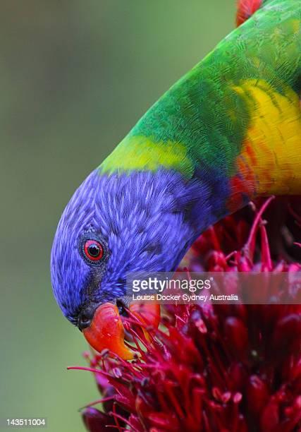 Rainbow Lorikeet on flower