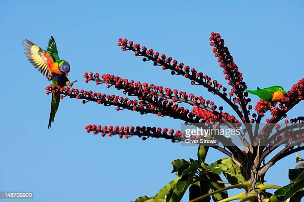 Rainbow Lorikeet onáflowering tree.