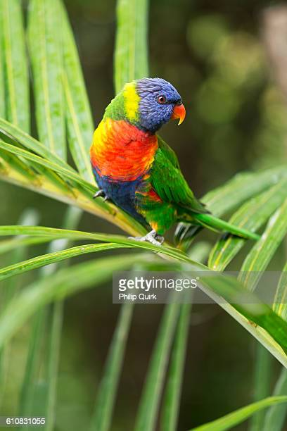 Rainbow Lorikeet perched on a Golden Cane Palm Aus