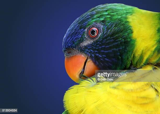 Rainbow Lorikeet Profile Headshot Close-up Portrait
