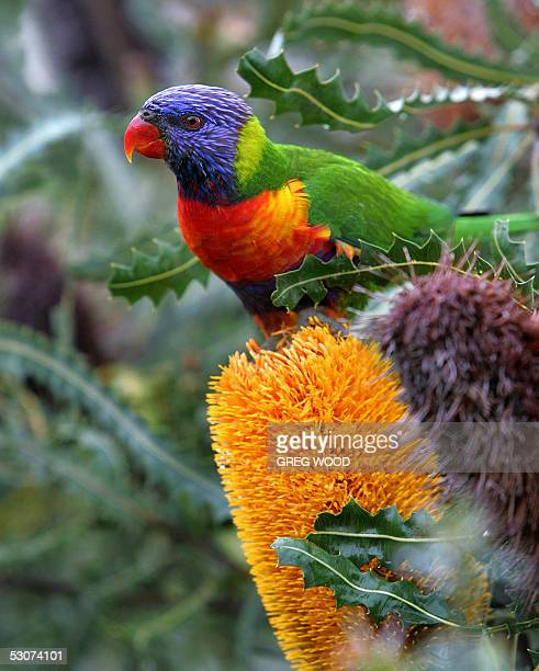 Rainbow Lorikeet sits on the flower of a Banksia Ashbyi shrub in a Perth suburb 16 June 2005 The Rainbow Lorikeet is widely distributed along...