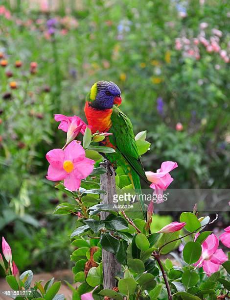 Rainbow lorikeet Trichoglossus haematodus and Dipladenia flowers Wauchope New South Wales Australia