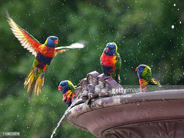 rainbow lorikeets, adelaide botanic gardens - spread wings stock pictures, royalty-free photos & images