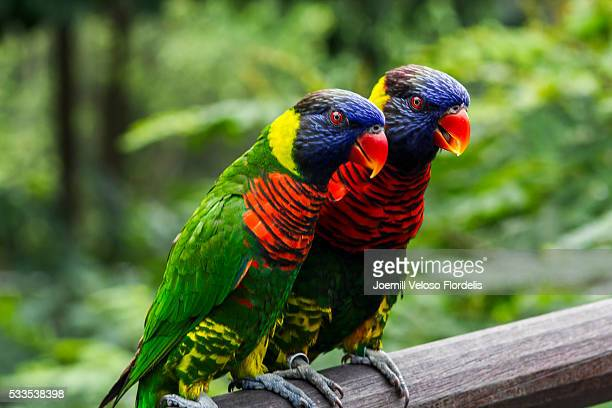 rainbow lorikeets or parrots - joemill flordelis stock pictures, royalty-free photos & images