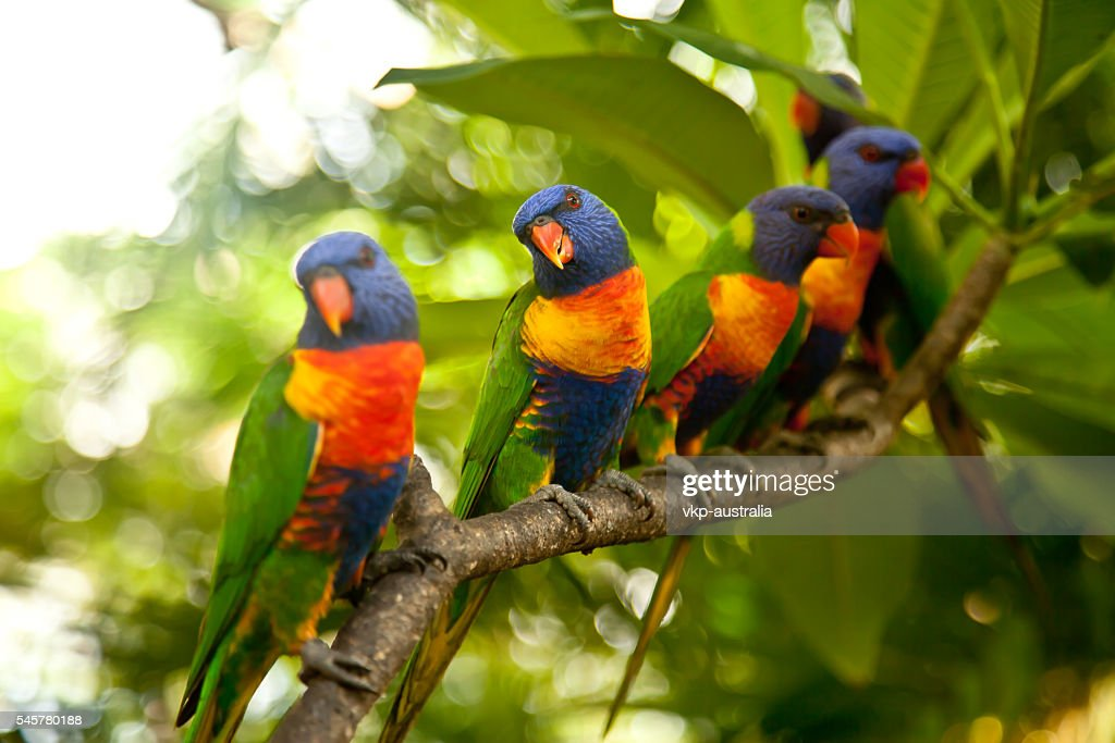 Rainbow Lorikeets perched on a branch : Stock Photo