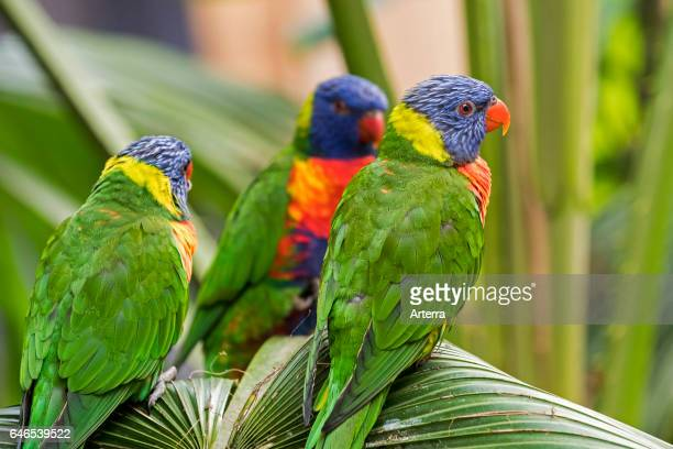 Rainbow lorikeets / Swainson's Lorikeet colourful parrots native to Australia perched in palm tree