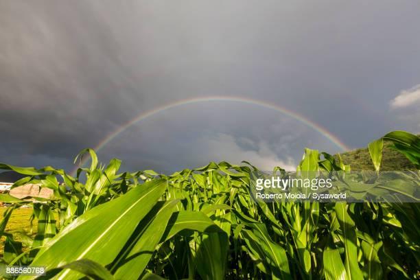 Rainbow on corn fields, Valtellina, Italy