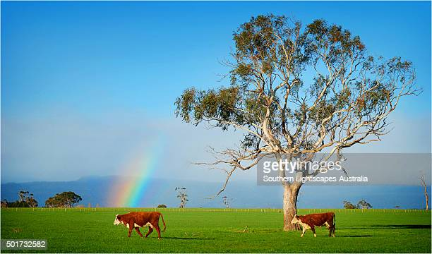a rainbow on pastural land near deloraine, northern tasmania. - eucalyptus tree stock pictures, royalty-free photos & images
