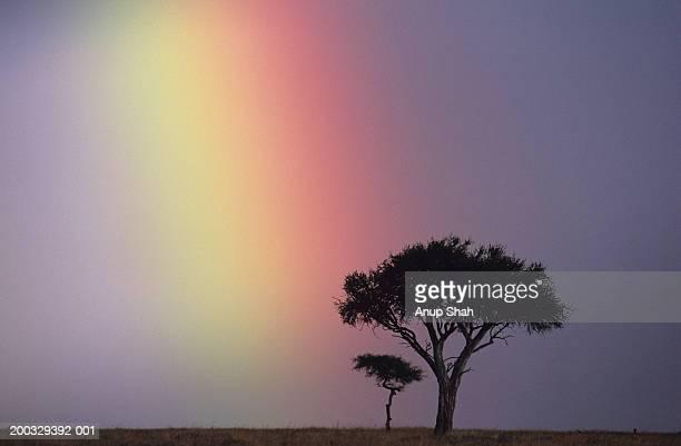 Rainbow over acacia tree on savannah, Masai Mara National Reserve, Kenya