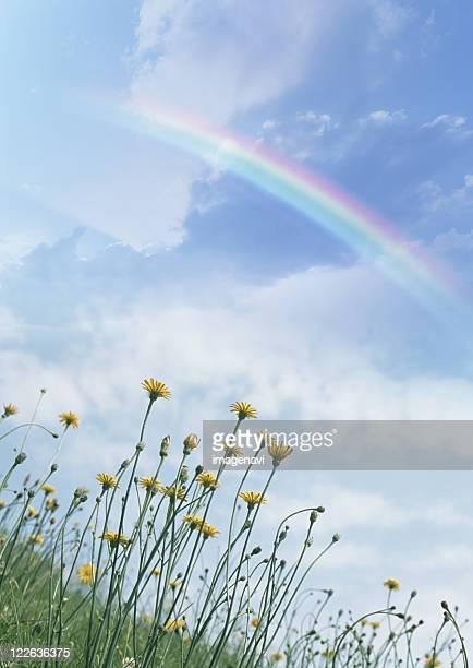 Rainbow over dandelions
