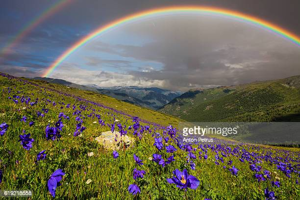 Rainbow over the flowering meadow