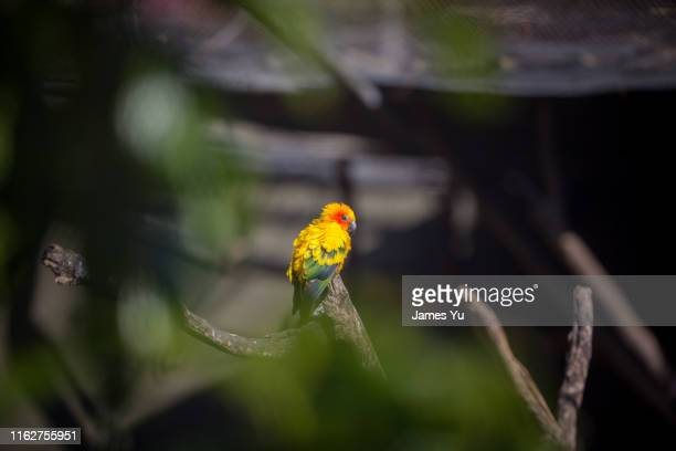 rainbow parrot - südaustralien stock-fotos und bilder