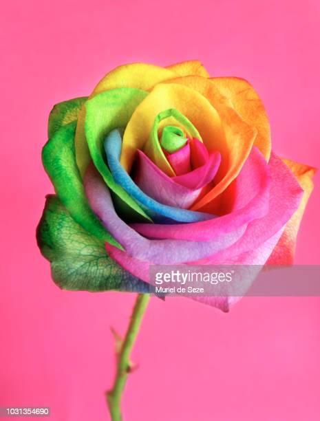 rainbow rose - gay love photos et images de collection