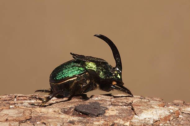Rainbow Scarab (Phanaeus vindex), adult male, Sinton, Corpus Christi, Coastal Bend, Texas, USA