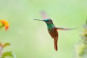 rainbow starfrontlet hummingbird flight flower garden