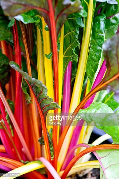 rainbow Schweizer Mangold