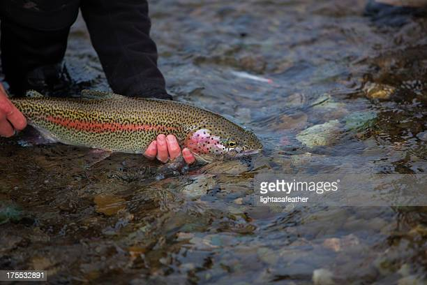 Rainbow trout stock photos and pictures getty images for Alaska fly fishing goods