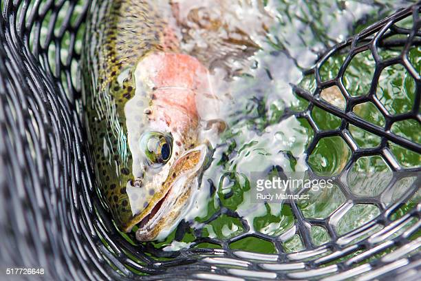 Rainbow Trout in the Net