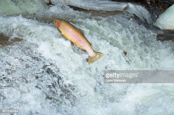 Rainbow trout (Oncorhynchus mykiss) jumping from water