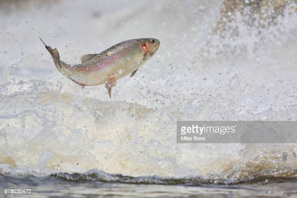 Rainbow trout (Oncorhynchus mykiss) jumping in water, Ontario, Canada