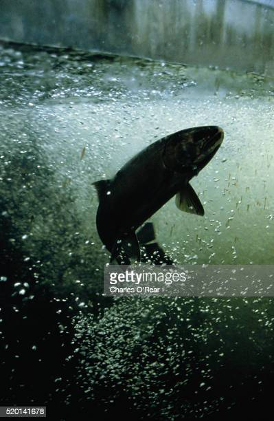 Rainbow Trout Jumping