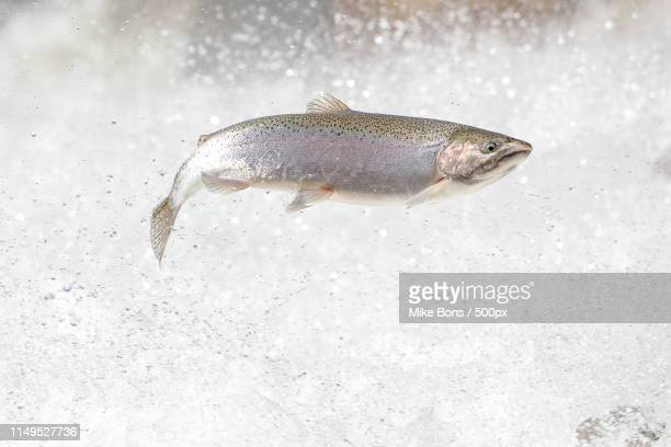 rainbow trout - trout stock pictures, royalty-free photos & images