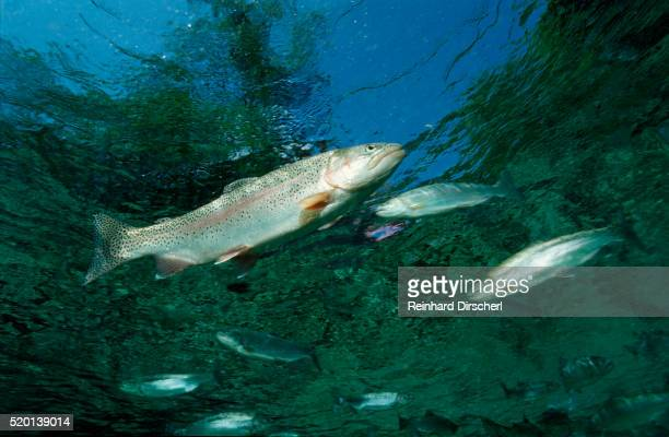 rainbow trout (oncorhynchus mykiss) - exotic_species stock pictures, royalty-free photos & images