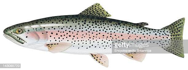 rainbow trout stock photos and pictures getty images