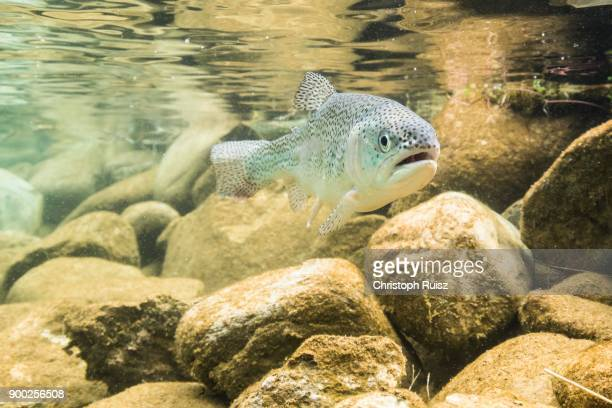 rainbow trout (oncorhynchus mykiss), underwater, mountain lake, styria, austria - brown trout stock pictures, royalty-free photos & images