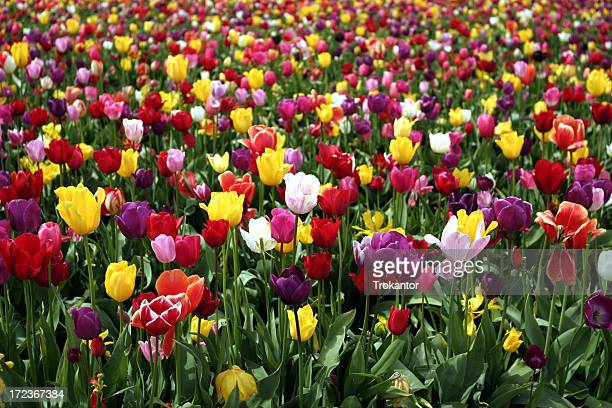 Rainbow Tulpen
