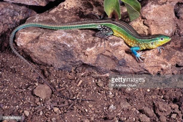 rainbow whiptail lizard - aruba - exotic_species stock pictures, royalty-free photos & images