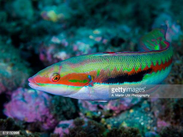 rainbow wrasse - julis stock pictures, royalty-free photos & images
