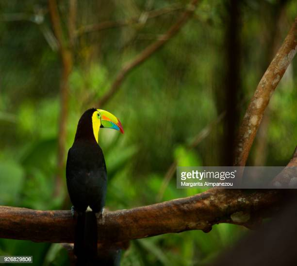 rainbow-billed toucan of costa rica - toucan stock photos and pictures