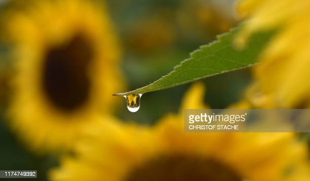 A raindrop drips from the leaf of a sunflower in a field near the small Bavarian village of Puchheim southern Germany during rainy weather on October...