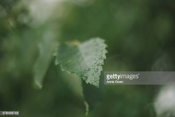 Raindrops of leaf