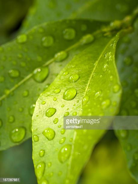 raindrops on a green plant leaf - lemon leaf stock photos and pictures