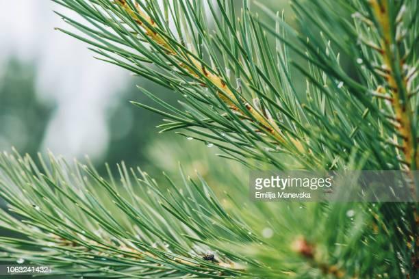 Raindrops on a pine needle