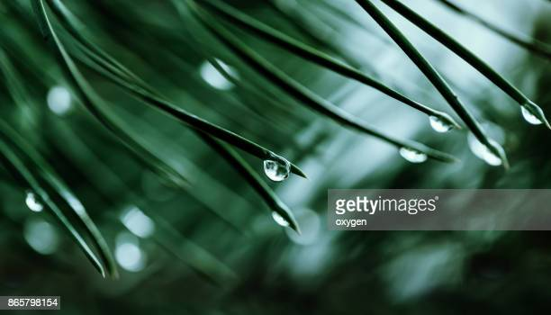 raindrops on a pine needle - extreme close up stock pictures, royalty-free photos & images