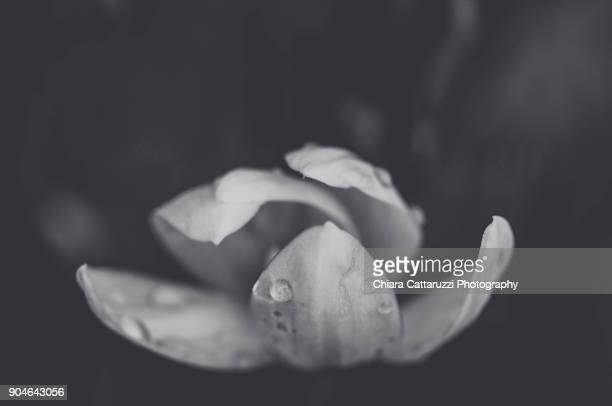 Raindrops on a white snowdrop flower