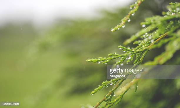 Raindrops on cypress leaves