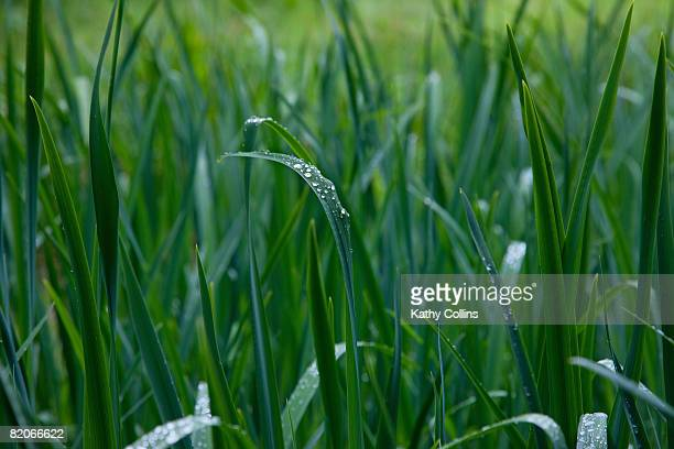 raindrops on fresh long green grass,scotland - kathy shower stock pictures, royalty-free photos & images
