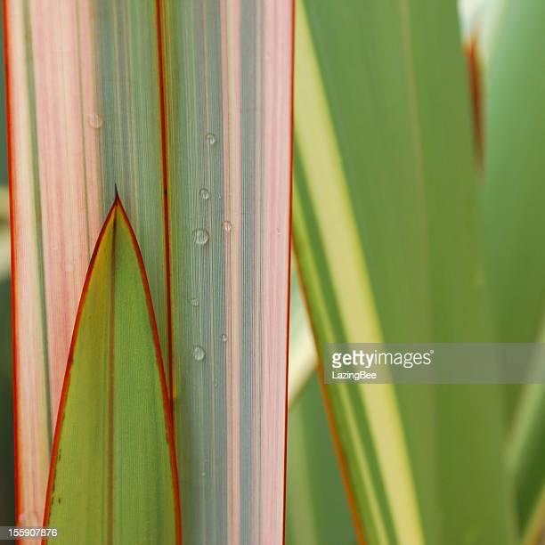 Raindrops on New Zealand Flax