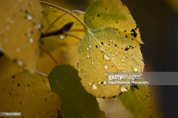 raindrops on yellow aspen leaves in autumn at grand teton national park, jackson, wyoming - aspen tree stock pictures, royalty-free photos & images