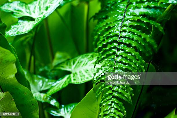 Raindrops pour from fern frond leaves during a tropical downpour.