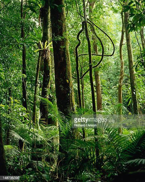 Rainforest at Mossman Gorge.