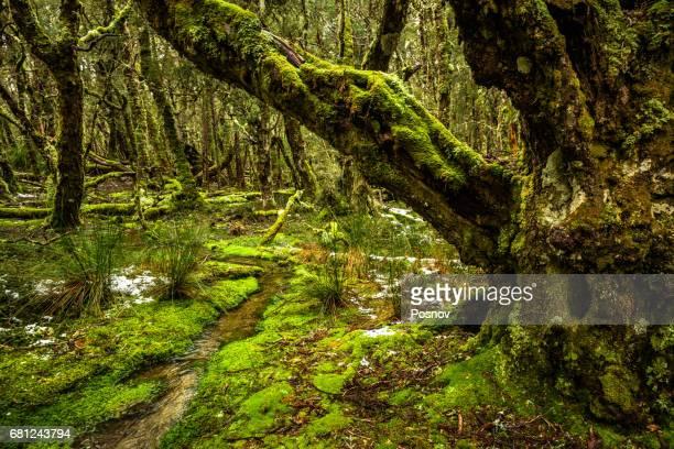Rainforest at Overland Track, Tasmania