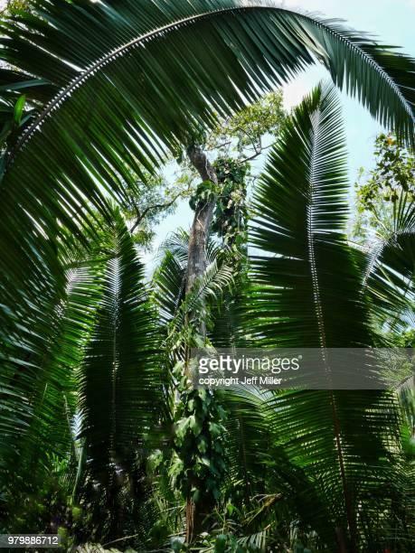 Rainforest at the Altun Ha Mayan ruins, Belize